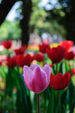 Pink Tulip. With Red Tulips background Royalty Free Stock Image