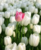 Pink tulip in a sea of white tulips Royalty Free Stock Photos