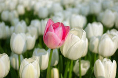 Pink tulip in a sea of white tulips Stock Photos