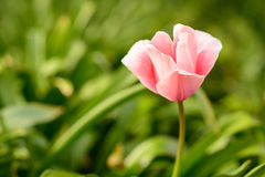 Pink Tulip Stock Photography