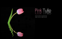 Pink Tulip. Single Pink Tulip with Reflection on Black Background, Copy Space Royalty Free Stock Photos