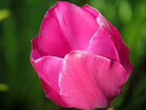 Pink tulip. Single pink tulip in spring Stock Images