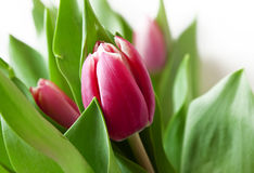 Pink Tulip, Spring Flower Royalty Free Stock Photography