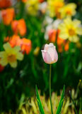 Pink Tulip in a Spring Garden Royalty Free Stock Photography