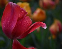 Pink Tulip in Spring Garden. Water Drenched Spring Tulip in Spring Garden Stock Photo