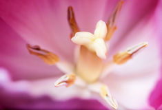 Pink tulip with stamen and pistils. Royalty Free Stock Photo