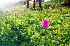 Pink tulip in the sunlight Stock Photos