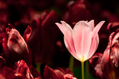 Pink Tulip Surrounded With Burgundy Tulips Stock Photos