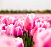 Pink tulip in a tulip field Stock Photo