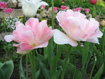 Pink Tulip (Tulipa - Gavota - Triumph Tulip) Royalty Free Stock Image