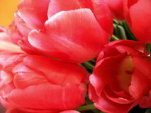 Pink tulip. S flowers Tulip, flowers, spring, bright, postcard, background, wallpaper, pink, red, color, botanical stock photos