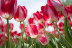 Pink Tulip. The pink tulips in sunshine Stock Photos