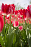 Pink Tulip. The pink tulips in sunshine Stock Photography