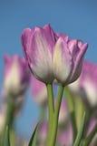 Pink tulip twins Stock Photos