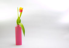 Pink Tulip. In a Vase in front of a white background Stock Images