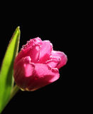 Pink tulip with water drops Stock Image