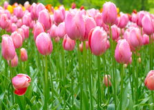 Pink tulip with water drops Stock Photos