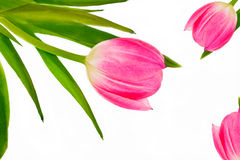 Pink tulip on a white background Stock Image
