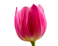 Pink tulip on white background Stock Image
