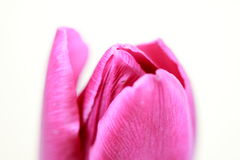Pink tulip. On white background Royalty Free Stock Photography