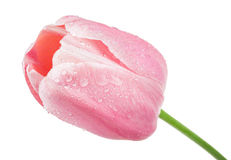Pink tulip Royalty Free Stock Photos