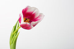 Pink tulip on  white background Royalty Free Stock Images