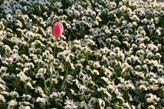 Pink tulip among white daisies. Pink tulip among a white daisy field stock photography