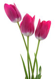 Pink tulip on white Stock Photo