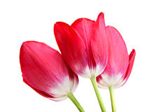 Pink tulip on white Royalty Free Stock Image