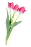 Pink tulip on white Royalty Free Stock Photography
