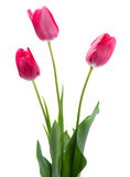 Pink tulip on white Stock Photography