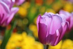 Pink Tulip on yellow beckground royalty free stock image