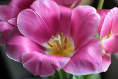Pink tulip with yellow stamen close up Stock Photos