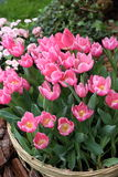 Pink Tulipa Gesneriana in Garden. Natural pretty pink Tulipa gesneriana in Garden with green leaf. This beautiful flower is easy to grow. It gives fresh to the Stock Photos
