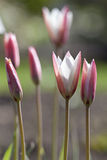 Pink Tulipa sylvestris. Outdoors with the front tulipes in focus Stock Image