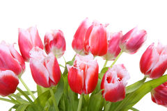Pink tulips. Isolated on a whiteness Stock Image