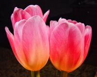 Free Pink Tulips Stock Photography - 123092932