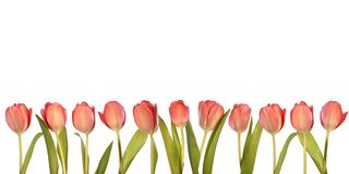 Pink tulips. Isolated pink tulips in a row Royalty Free Stock Images