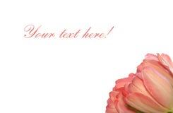 Pink tulips. Isolated on white background Royalty Free Stock Image
