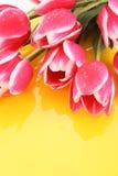 Pink tulips Stock Photos