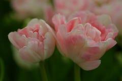 Pink tulips. Closeup of pink tulips Royalty Free Stock Photos