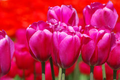 Pink Tulips Royalty Free Stock Photo