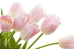 Free Pink Tulips Royalty Free Stock Image - 19031406