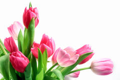 Pink Tulips. Beautiful pink and white tulips (Tulipa) in vase on white background Stock Photography