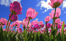 Free Pink Tulips Stock Images - 22250284