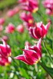 Pink Tulips. In large garden bed Stock Photos