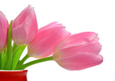 Pink tulips. In red vase isolated on white Royalty Free Stock Photos