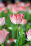 Pink tulips. Close up of pink tulips Royalty Free Stock Photo