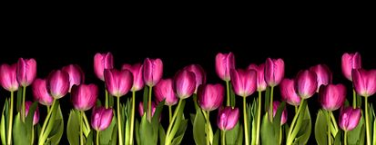 Pink tulips. On a black background Royalty Free Stock Photos