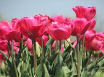 Pink Tulips. A field with pink tulips in Holland Stock Images
